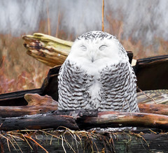 Smiling Snowy Owl (TOTORORO.RORO) Tags: park portrait canada reflection bird nature smile lens mirror reflex bc sleep britishcolumbia wildlife sony delta pacman translucent marsh boundarybay alpha 500mm f8 slt wetland snowyowl greatervancouver a55 buboscandiacus sal500f80