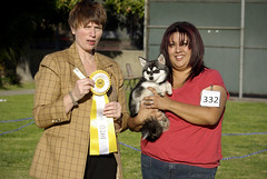 Mink - Best of Breed (Alexandra Kimbrough) Tags: show california dog miniature husky mini kai nordic claremont northern klee alaskan ukc conformation akk