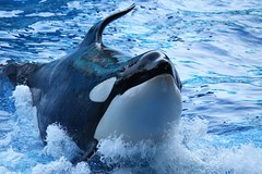 The Old Pro (Seals4Reals) Tags: world ocean show sea one orlando florida killer whale orca seaworld shamu katina