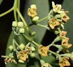 2900 001-01-g-3577 Santalum ellipticum, a form at Kalaeloa, O`ahu, occurrence 1, plant 1 (female - the plant sets fruit; its flowers do not produce pollen).  O`ahu, southwestern end, Kalaeloa, Santalum area 3. (jqcl) Tags: santalum santalumellipticum iliahi iliahialoe sandalwood santalaceae hawaiianislands hawaii oahu plant nativehawaiianplant nativeplant