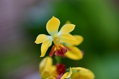 えびね (海老根)/Calanthe sp. (イシズチ系)-2 (nobuflickr) Tags: orchid flower nature japan kyoto 日本 花 蘭 thekyotobotanicalgarden 海老根 ebine 京都府立植物園 japanesorchid awesomeblossoms えびね calanthesp ラン科エビネ属 20160503dsc08645