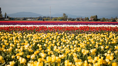 Tulip Fest (15 of 26) (evan.chakroff) Tags: flowers festival washington spring unitedstates tulips tulip april mountvernon tulipfestival mtvernon roozengaarde 2016