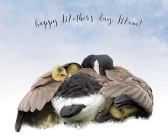 happy Mother's Day (marianna armata) Tags: family happy day good mother goose mothers goslings wishes motherhood embrace mariannaarmata