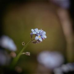 Single Forget Me Knot (MacBeales) Tags: blue plants macro me closeup canon garden lens 350d nik knots forget