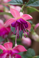 IMG_7584-1 (A.J. Boonstra) Tags: plants macro nature canon garden spring fuchsia usm f28 efs60mm 700d