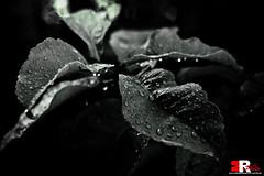 After the Rain [project] (Michele Rallo   MR PhotoArt) Tags: light rome roma macro tree art nature rain foglie canon photography photo flickr day foto mr natura rainy michele foglia fotografia albero pioggia photoart luce fotografo miker rallo mrphotoart emmerrephotoart