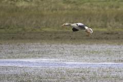 Grauwe gans (judithvanagthoven) Tags: nature terschelling canon nederland natuur gans ganzen grauwe sigma150500mm eendvogels eendachtigen 7dmarkii