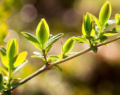 Backlit Buds (Pauline Brock) Tags: plant green nature leaves backlight garden spring bush branch bokeh growth twig buds backlit growing bud shrub budding justleaves macromondays photochallenge2016