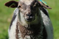 Coco  3 months today (excellentzebu1050) Tags: animal closeup outdoor farm newborn lamb lambs newlife animalportraits coth5 may2016lambsshreep