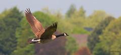 Canada Goose (P-B-fotografie) Tags: wild canada bird nature birds animal flying wildlife goose gans greater oiseau vogel canadien grote branta canadese canandensis