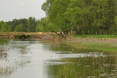 the colony of black-headed gull (JoannaRB2009) Tags: trees green nature water birds forest reflections landscape spring pond gull gulls poland polska lodzkie dzkie sarnw