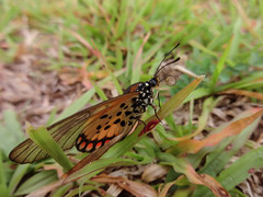 Acraea (dotun55) Tags: plant macro green nature field grass butterfly insect wings eyes legs background lepidoptera nigeria spotted antennae proboscis acraea