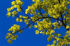 Nice weather. 001 (George Ino) Tags: copyright sun holland netherlands utrecht nederland bluesky lente zon niceweather mooiweer acerpseudoplatanus blauwehemel gewoneesdoorn georgeino georgeinohotmailcom naturenatuurnatur voorjaarspringfrhjahrprintempsprimavera gewoneesdoornacerpseudoplatanus