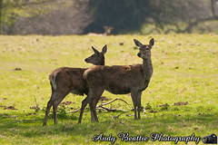 2016-05-04-031 (Andy Beattie Photography) Tags: uk england nature mammal photography europe photographer wildlife yorkshire deer halifax ungulate reddeer northyorkshire westyorkshire ripon eventoed pecora cervuselaphus hoofed andybeattie andybeattiephotography