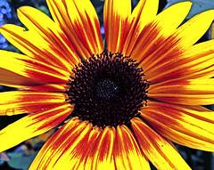 Little Darling (netaloid) Tags: flower nature sunrise garden spring sunflower floralperfection