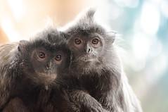 Monkey Friends (Meleah Reardon) Tags: friends cute animal photography zoo monkey eyes san diego cuddle monkeys
