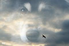 cloud illusions 20/52 (sure2talk) Tags: clouds doubleexposure taivas 2052 finnishlapphund ldl cloudillusions 52weeksfordogs nikond7000 nikkor85mmf35gafsedvrmicro littledoglaughedstories littledoglaughednoiret we1552016