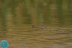 BirdID LT 2016 Nemunas Delta part II (_alcedo_) Tags: nature lithuania breeder reptilia grasssnake wintering natrixnatrix reptail borisbelchev wwwalcedowildlifecom