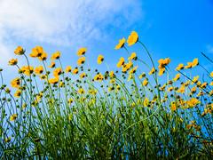 PhoTones Works #7882 (TAKUMA KIMURA) Tags: plant flower nature yellow japan landscape scenery air olympus jp    cosmos   okayama kimura     sulphureus takuma  a01    photones