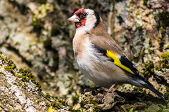 Goldfinch (jonathan.scaife81) Tags: red tree bird yellow canon fife farm goldfinch perch loch vane tamron leven kinross 70300 tamron70300 650d