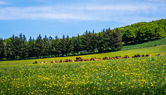 Cows and dandelions (daniel_munch) Tags: light summer vacation sky tree green tourism nature beautiful field grass sunshine animals yellow clouds rural forest relax landscape denmark outside countryside cow day natural calm dandelion environment discovery