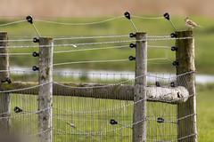 Skylark Fence Friday (141/366) (AdaMoorePhotography) Tags: fence nikon friday skylark 366 fencefriday d7200