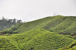 cameron highlands- malaisie 27