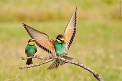 Abejarucos (Havock.) Tags: fauna hide abejaruco ceba caleraychozas