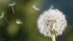 Spring into Summer (steved_np3) Tags: summer plant flower spring wind dandelion blowdandelion