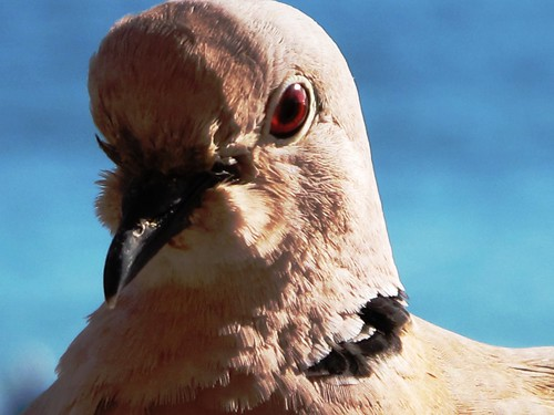 #11 - Pigeon portrait II