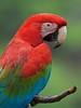 Red-and-green Macaw (Ara chloroptera) (PeterQQ2009) Tags: brazil birds redandgreenmacaw arachloroptera specanimal