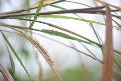 Kauai Grass