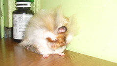 Out, damn spot! (jellybaby86) Tags: pet cute adorable fluffy hamster satin rex loved syrian longhaired dandydust