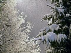 3rd DEC |  ♪ Let it snow! Let it snow! Let it snow! ♫ (Toni Kaarttinen) Tags: christmas xmas winter holiday snow storm tree forest espoo suomi finland season december advent day snowstorm christmastree yule letitsnow spruce strom finlandia holidayseason chirstmastree