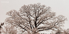 Cinema Scope (Abbey - Bleeding Heart) Tags: trees snow tree by photography heart covered e bleeding ae erickson aerickson abbeysayshi