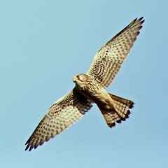 Happy Kestrel Friday! (Ger Bosma) Tags: bird dutch flying wings europe european wildlife flight thenetherlands birdsinflight soaring bif birdinflight falcotinnunculus torenvalk commonkestrel flyingbird turmfalke fauconcrcerelle cerncalovulgar doubleniceshot tripleniceshot mygearandme mygearandmebronze flickrstruereflection1 flickrstruereflection2 flickrstruereflection3 flickrstruereflection4 flickrstruereflection5 exitred9 img26830a exitrec3 exitgsa3