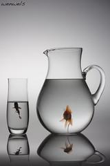 mirada fija (wenwels) Tags: pez canon agua peces negro naranja negra vaso linea vidrio bodegon jarra 450d wenwels