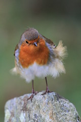 She Wears Red Feathers And A Hooly-Hooly Skirt (Chris*Bolton) Tags: ireland bird nature robin feathers windy glendalough perch perched wicklow birdwatcher robinredbreast bej mywinners abigfave citrit alittlebeauty artofimages bbng