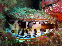 Thorny oyster (Gall) Tags: thailand underwater dive diving similan plonge mollusc invertebrates thailande andaman similanisland