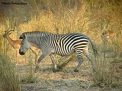 Zebra & Impala (Perkins-Boyer Photos) Tags: safari zebra zambia africananimals southluangwanationalpark