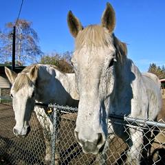 howdy, boys! (Black Cat Bazaar) Tags: california ca horses white fence beige duo chainlink chico neighbors nord hopeful