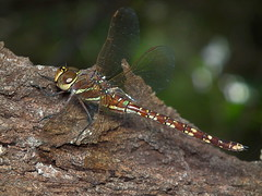 Blue spotted Hawker (James Niland) Tags: blue macro james dragonfly fujifilm spotted hawker niland hs10 adversaeschna brevistyla jamesniland