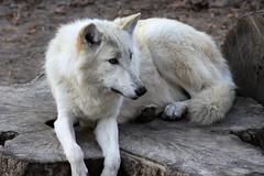 Timber Wolf (smileybears) Tags: wolf memphiszoo timberwolf zoosofnorthamerica