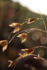 Northern Sea Oats (secondhobby) Tags: home nature grass newjersey bokeh nj seed dry oats northernseaoats