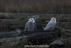 20120102_Snowy Owls @ Boundary Bay_0128 (Ryan Dyck) Tags: new blue white canada mountains macro art nature water beautiful beauty birds photoshop sunrise wow spectacular photography bay march flying yahoo google amazing artist bc purple hawk flight baldeagle creative young picture logs read pro chacha capture blueheron polarizer habitat dramaticsky eagles bing altavista exciting mtbaker lightroom snowyowl 70200mm flocks mtcheam harrierhawk snowyowls d80 nikond90 ryandyckphotography juvenials 2xdoubler ryandyckphotography scenics nikon1870 boundarybaydelta