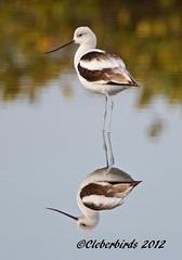 American Avocet - Recurvirostra americana (Cleber C. Ferreira) Tags: bird nature birds animals florida wildlife americanavocet centralflorida recurvirostraamericana merrittislandnationalwildliferefuge birdperfect