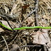 2008 AHS Spring Field Trip - Rough Green Snake