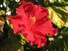 Hibiscus for your Heart (brainy_bee (off for now)) Tags: california red flower art beautiful losangeles brain surgery trailer mobilehome recovery braintumor brainsurgery awesomeblossoms brainybee trailerparkgardens