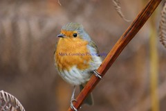 DSC00422 (Mark Coombes Photography) Tags: bird robin dorset