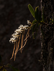 Rangaeris amaniensis (zimbart) Tags: africa orchidaceae zimbabwe rangaeris rangaerisamaniensis